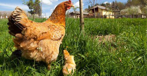 Photo d'une poule